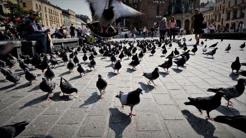 Krakow Pigeons